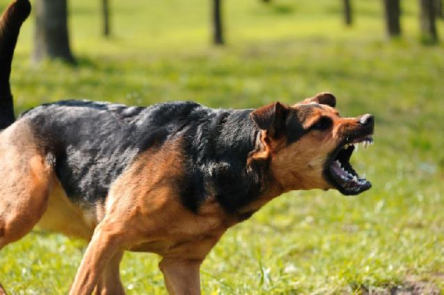 cachorro-bravo foto divulgacao