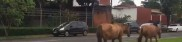 Cavalos soltos na avenida Santos Dumont