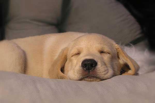 golden-dormindo