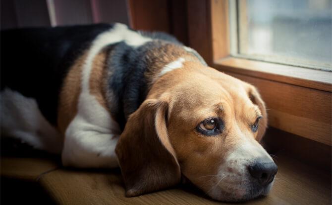 depressao-canina