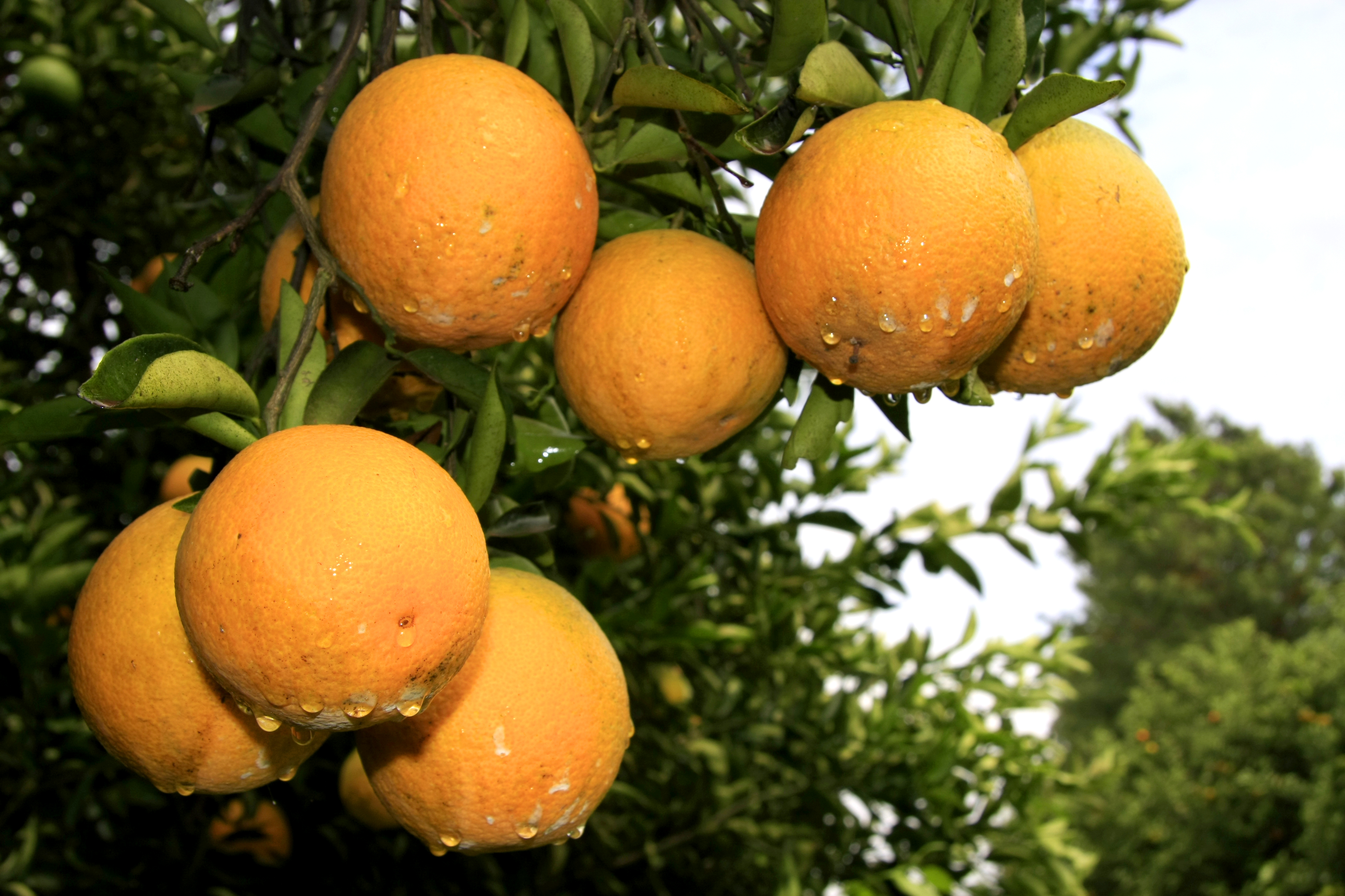 fruta foto aen
