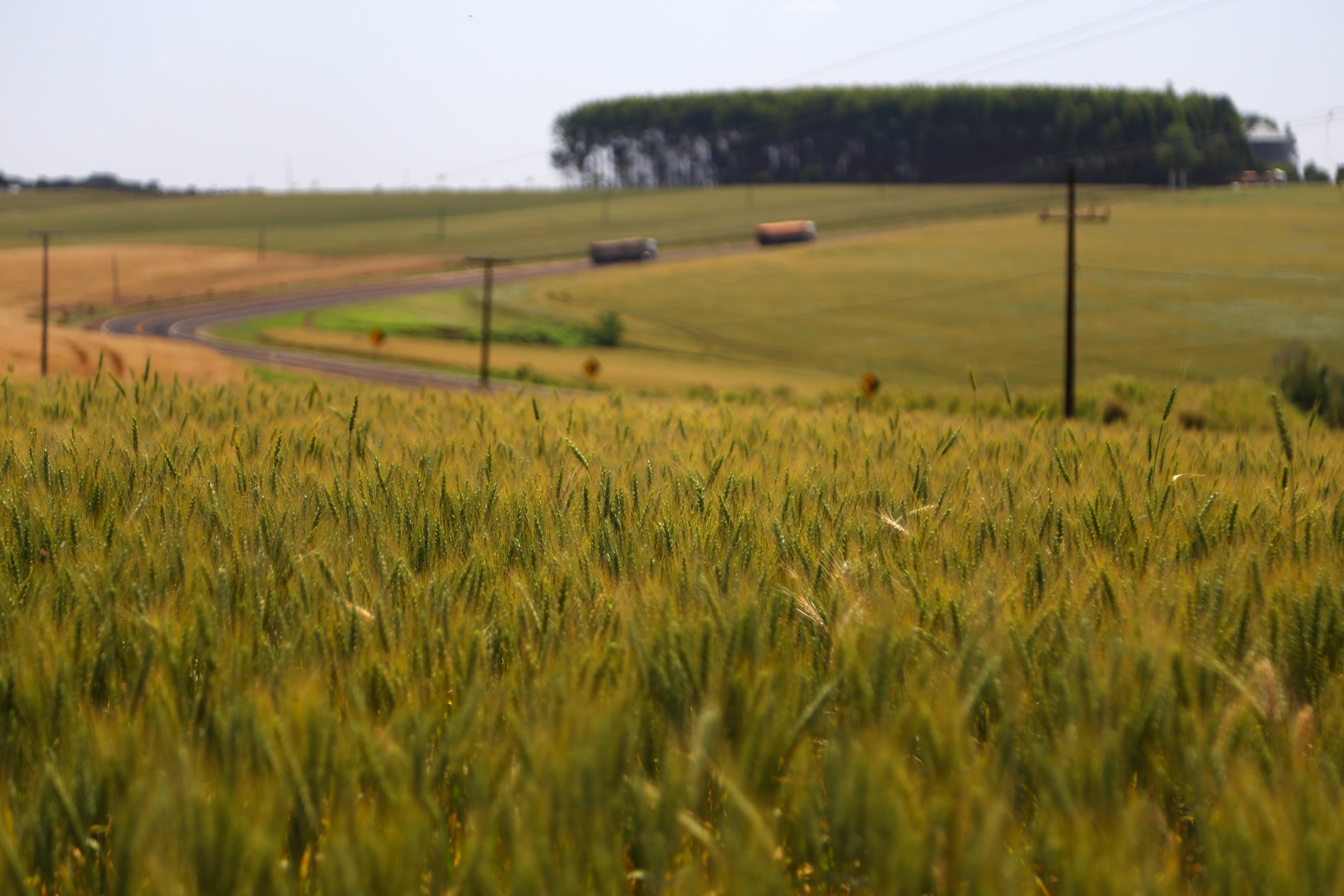 Lavoura de trigo na região de Umuarama.Foto: José Fernando Ogura