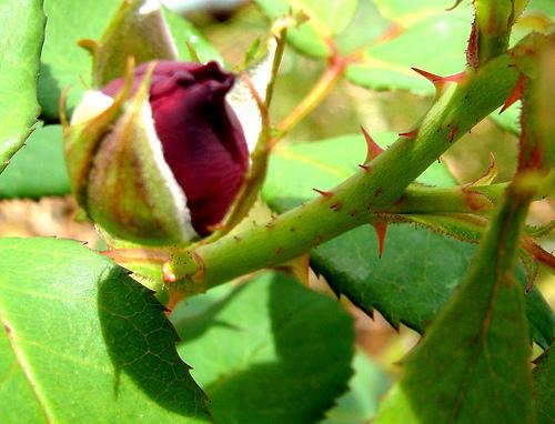 rosa-espinhos1