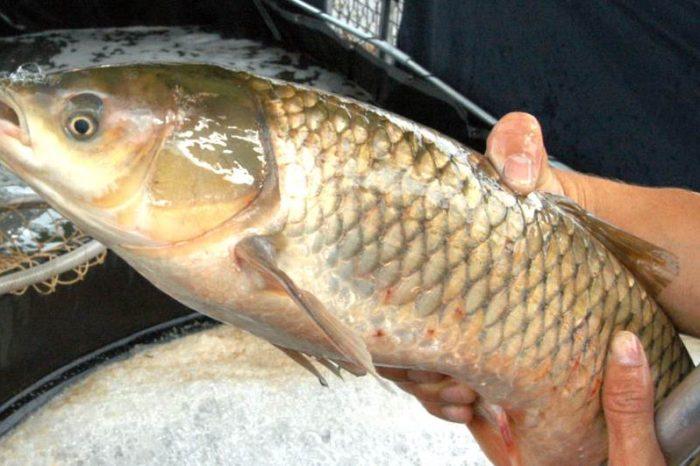 Feira do Peixe Vivo começa nesta quarta-feira (17) em Londrina