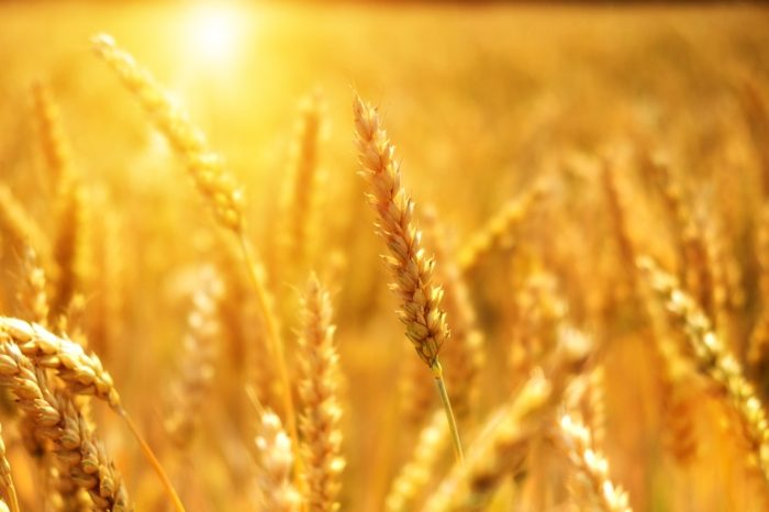 Geadas podem provocar perda de até 25% nas lavouras de trigo no Paraná