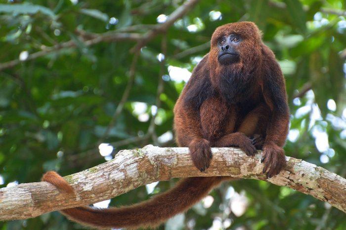 Mais casos de macacos mortos por febre amarela são registrados no Paraná